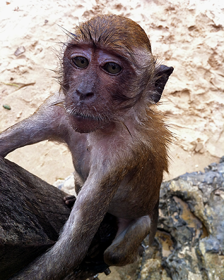 Crab-eating Macaque in Krabi Thailand