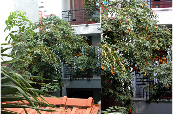 Starfruit Tree Saigon
